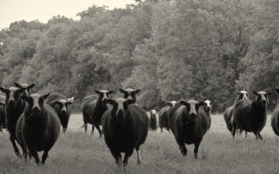 South Yeo Farm East – Mutton